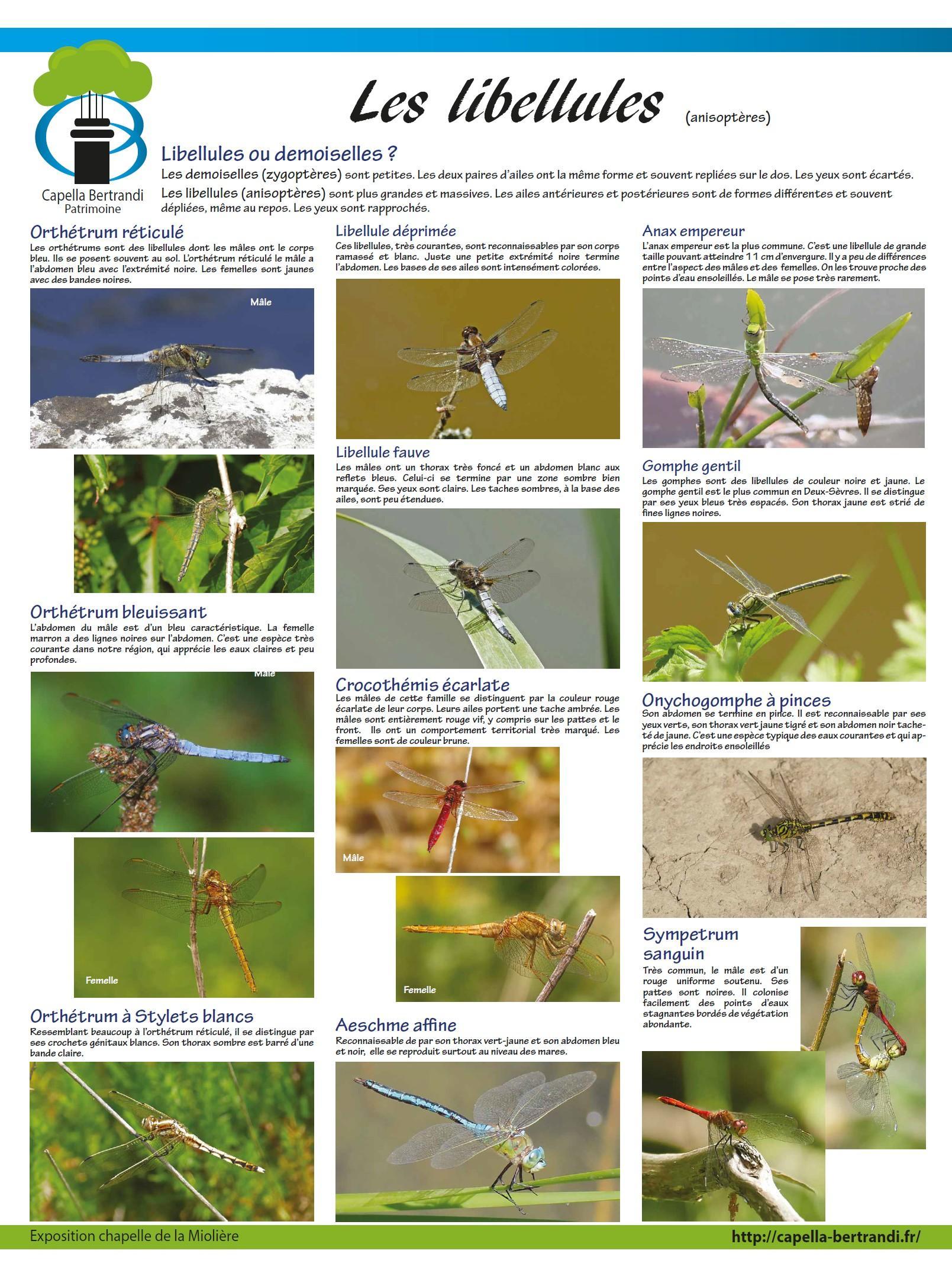 Les libellules de la Chapelle Bertrand